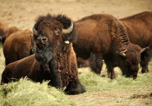 20110321__BISON-ART-DENAp1